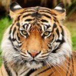 Рисунок профиля (тигр)